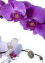 ORCHIDS Royalty Free Stock Photo - 2330405