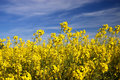 Rape Field Stock Image - 2339811
