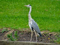 Great Blue Heron Royalty Free Stock Photo - 23313005