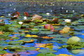White Water Lilies Stock Images - 23313654