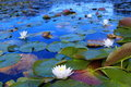 White Water Lilies Royalty Free Stock Photo - 23313695