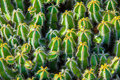 Close-up Cactus Royalty Free Stock Image - 23316876