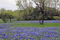 Bluebonnets With Grass And Trees Royalty Free Stock Image - 23332746