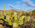 Prickly Pear With Landscape Royalty Free Stock Photos - 23333128