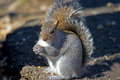 Eastern Gray Squirrel Royalty Free Stock Images - 23350239