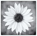 Wild Sunflower In Black And White Royalty Free Stock Photos - 23353118