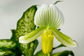 Green And Yellow Paphiopedilum Maudiae Orchid Stock Photography - 23353992