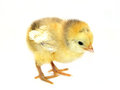 Little Chicken Royalty Free Stock Image - 23368096