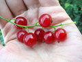 Close Up Of Red Currant Twig On A Palm. Stock Photography - 23374252