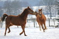 Horses In The Snow Stock Image - 23378081