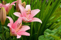 Pink Lily Stock Photography - 23381752