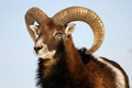 Mouflon Trophy Royalty Free Stock Photography - 23382627