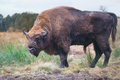 Bison Stock Images - 23386644