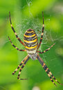 Wasp Spider Royalty Free Stock Photo - 23391255