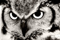 Great Horned Owl Stock Photos - 2345733