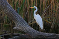 Great White Egret Royalty Free Stock Images - 23403679