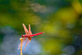 Red Dragonfly Stock Images - 23413354