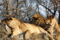 African Lions Royalty Free Stock Image - 23417026