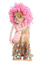 Chihuahua Ready For Winter Royalty Free Stock Photo - 23420655
