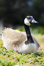 Canadian Goose Stock Image - 23421391
