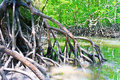 Mangrove Forest Stock Photos - 23424863