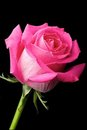 Hot Pink Rose On Black Background Stock Images - 23436094