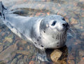 Harp Seal  (Pagophilus Groenlandicus) Royalty Free Stock Image - 23441986