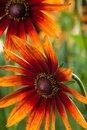 Red Yellow Rudbeckia Flower Stock Photography - 23451142