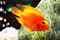 Golden Fish In Aquarium Royalty Free Stock Photography - 23468687