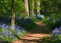 Path Through Bluebell Woods Royalty Free Stock Photo - 23474025