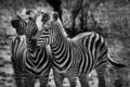 Two Zebra Animal In Close Up Stock Photo - 23486400