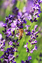 Bee On A Lavender Flower Royalty Free Stock Photography - 23495397