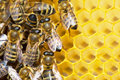 Bees On Honeycells Royalty Free Stock Photos - 2351528