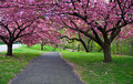 Cherry Blossom Path Royalty Free Stock Photography - 2352327