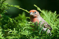 Close Up Of A Male House Finch Royalty Free Stock Photos - 23505298