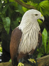 Young Sea Eagle Royalty Free Stock Images - 23507029