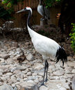 Red-crowned Crane Or Japanese Crane Royalty Free Stock Images - 23509289