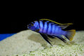 Labidochromis Sp. Mbamba Stock Photos - 23542973