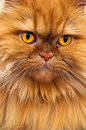 Persian Cat Stock Image - 23545481
