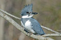 Belted Kingfisher Stock Image - 23546191