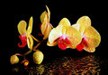 Yellow Orchid Royalty Free Stock Images - 23554959