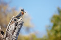 Giant Kingfisher Royalty Free Stock Images - 23558189