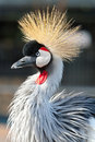 Crowned Crane Stock Photography - 23562232