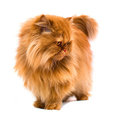 Persian Cat Stock Image - 23563221