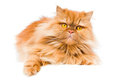 Persian Cat Royalty Free Stock Photo - 23563295
