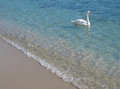 Swan In Crystal Clear Shallow Sea Water. Royalty Free Stock Photo - 23568605