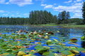 Lake With Water Lilies Stock Photo - 23582950