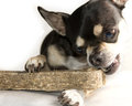 Tiny Chihuahua Big Bone  On White Stock Image - 23586531