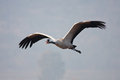 Eurasian Crane Royalty Free Stock Photos - 23595748