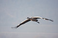 Crane Flying Stock Images - 23595754